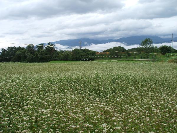 天気のいい日は蕎麦の花一色に染まります。景色を眺めるだけでも最高の気分ですよ。