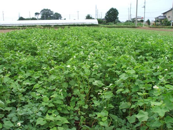 未使用の土地は、御近所さんにも協力していもらい、どんどん蕎麦畑に活用していきます。